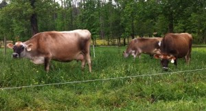 Cows graze at the Chapel Hill Creamery