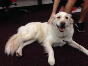 Teddy, a 4 1/2 year old therapy dog, helps students relax during the stress of finals week.  (Photo by Andrew Tie)
